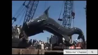 Download Ikan Hiu Terbesar Di Dunia Tertangkap www stafaband co