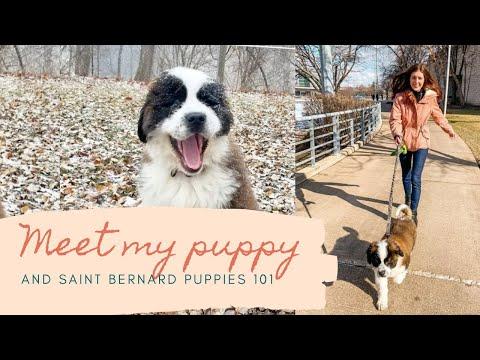 MEET MY PUPPY   SAINT BERNARDS 101