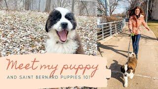 MEET MY PUPPY | SAINT BERNARDS 101