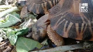 Radiated Tortoise and World Turtle Day - Cincinnati Zoo