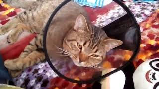 Кот Макс 2 день После КАСТРАЦИИ!