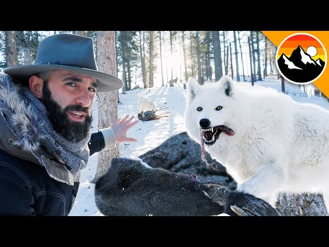 HUNGRY LIKE A WOLF - Feeding a Deer to Wolves!