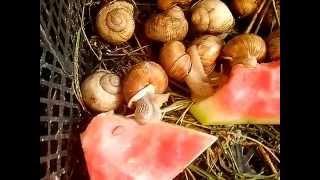 Выращивание улиток 1(бескоенчное поедание арбуза :D., 2015-08-10T10:09:40.000Z)