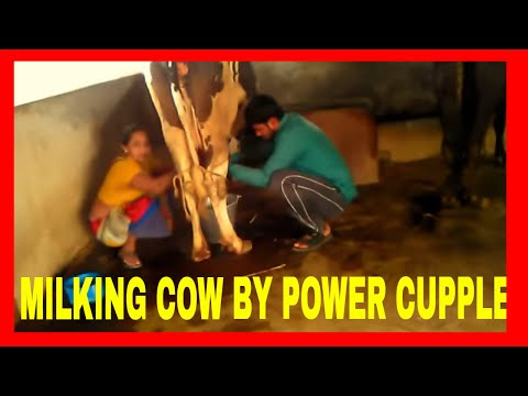Milking of the cow by power cupple.