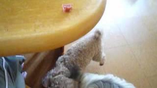 チャイニーズクレステッドドッグ トイプードル犬 テーブルにおやつを用...