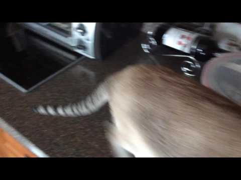 Siamese cat , Tasha singing o holy night with me.