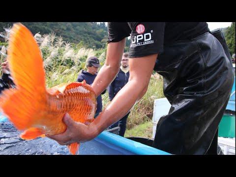 These Koi Fish Are BIG | KODA KOI FARM HARVEST