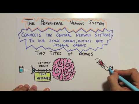 Peripheral nervous system. The nervous system.