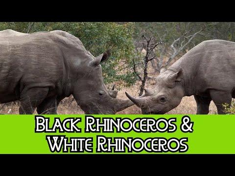 Black Rhinoceros & White Rhinoceros - The Differences