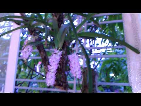 Hoa lan đuôi cáo tại Láng Hạ