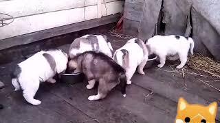 Западно-сибирские лайки, щенки