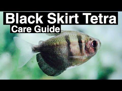 Black Skirt Tetra Care Guide & Tank Mates