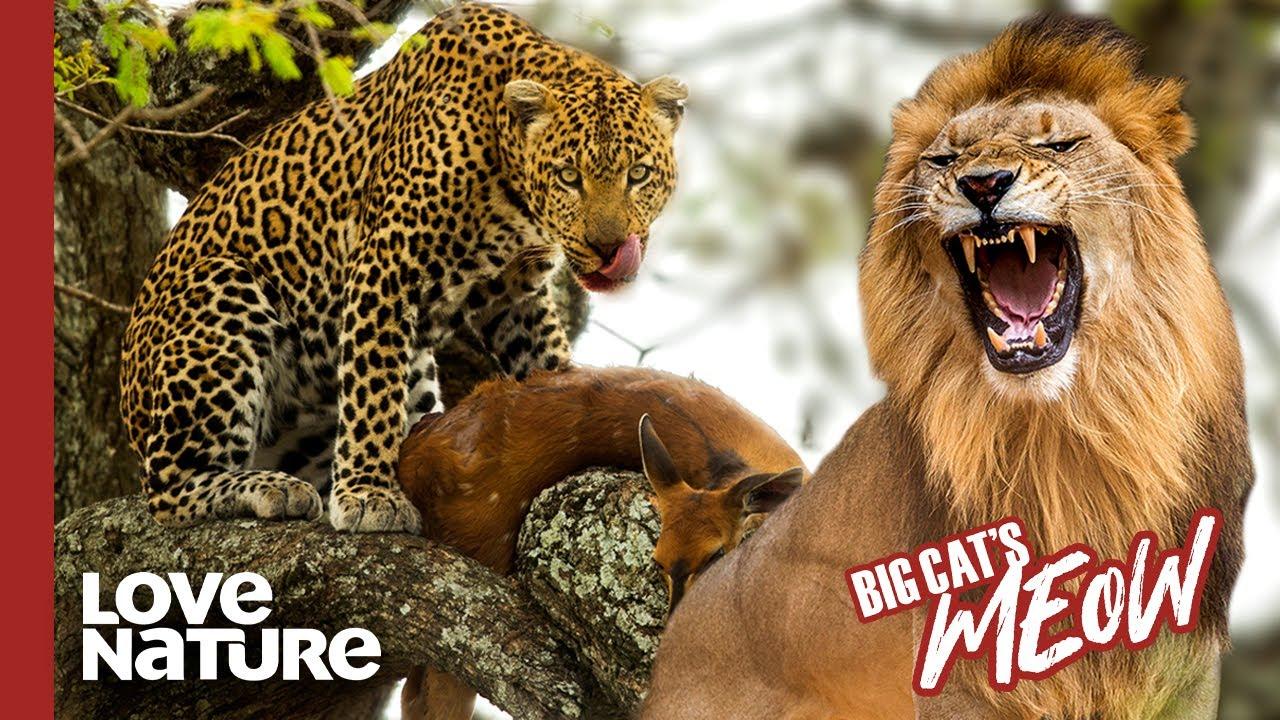 Leopard vs. Lion: Battle of the Big Cats