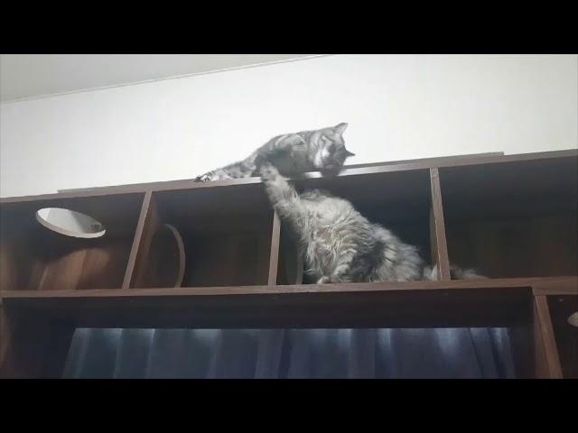 LOWYA キャットタワー型テレビ台 で遊ぶねこたち