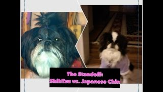 The Standoff: Shih Tzu Vs. Japanese Chin