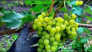 Почему не работают препараты против болезней на виноградниках. Виноград 2017.