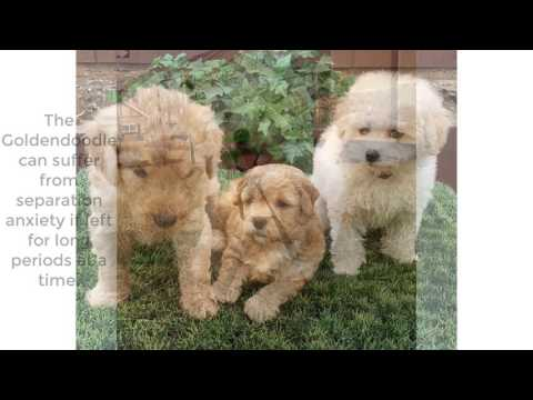 Top fact about Golden doodle dog