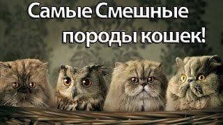 Самые Смешные породы Кошек! =ТОП-6=
