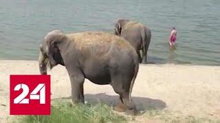 Слонов из цирка-шапито пустили порезвиться на пляже - Россия 24