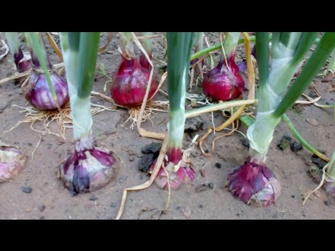 Onion life cycle  (Onion farming at home)