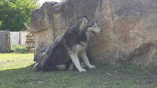 Les bb husky d'Alaska avec leurs maman ❤