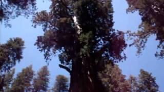 El Arbol Mas Grande Del Mundo - General Sherman Tree