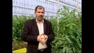 Nouvelles techniques de production de tomate sous serre