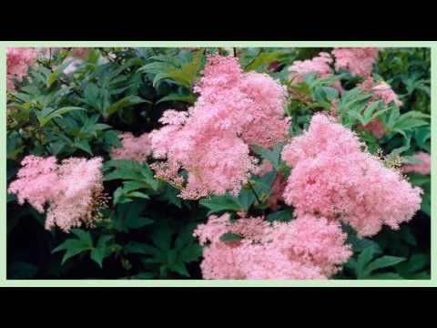 Лабазник вязолистный, таволга (трава и цветы)