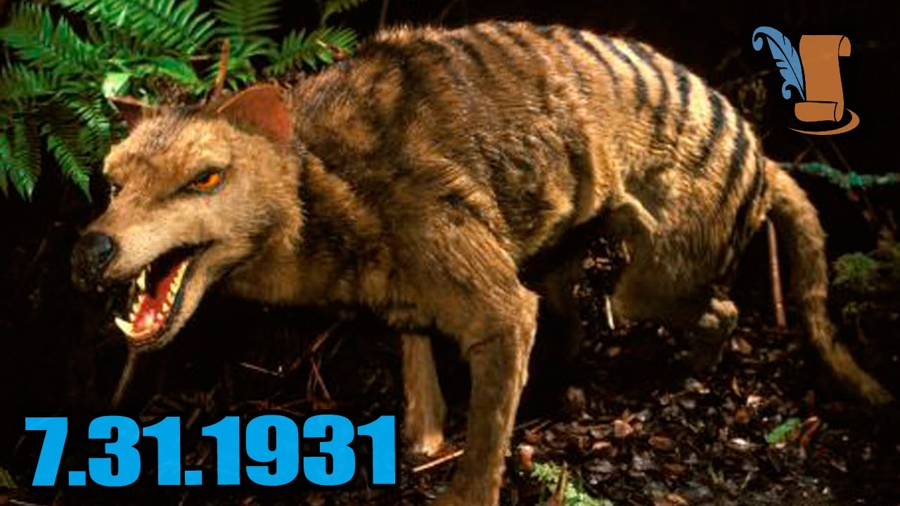 A Day In History: The Tasmanian Tiger - YouTube