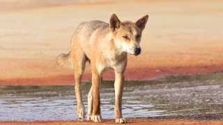 Dingoes of Fraser Island: managing a wild animal in a tourist spot