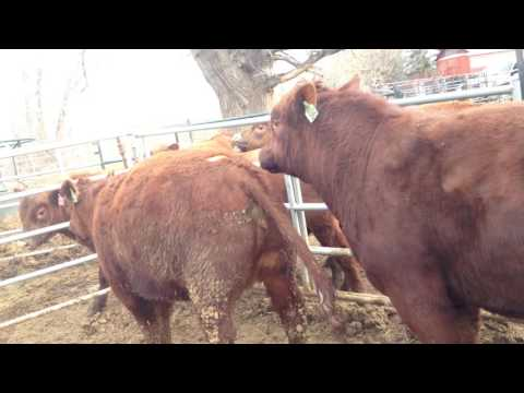 Natural Service, Red Angus