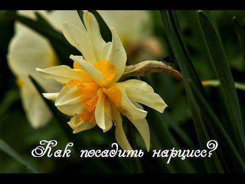 Нарциссы.  Как посадить нарциссы весной?