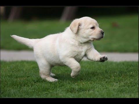Labrador retriever Puppy 35 days old  lab small baby puppies