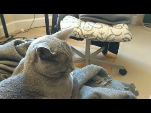 Burmese cat talks, Russian Blue listens