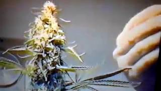 1988 Indoor Cannabis Grow Room 2 x 1000 watt HPS  in Amsterdam.