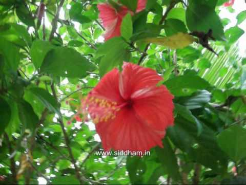 Herbal Medicine Hibiscus Rosa Sinensis A Natural Hair Tonic