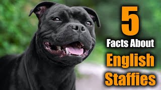 5 Facts About Staffordshire Bull Terriers