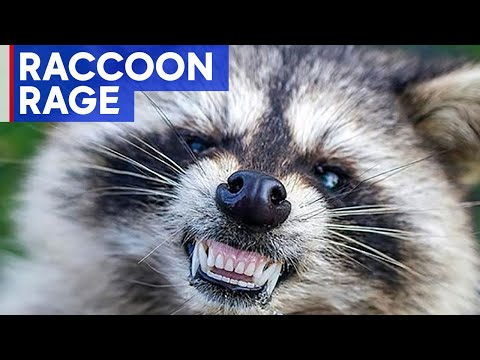 Raccoon attacks people, charges at police in New Jersey