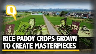 The Quint: Japanese Farmers Plant Coloured Rice Crops to Create Masterpieces