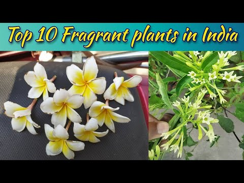 Top 10 Fragrant/ Scented/ Aromatic Flower Plants in India
