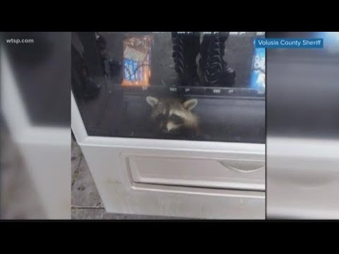 Rob and Hilary - Hilary's Weird News - Raccoon rescued from high school vending machine
