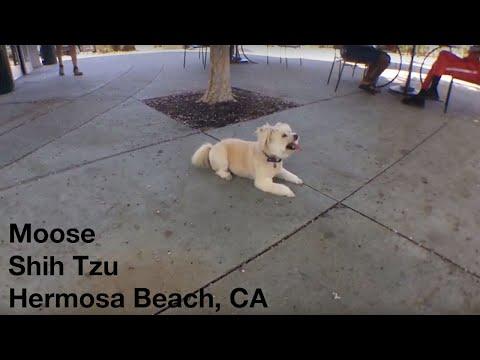 Moose | Shih Tzu | Hermosa Beach, CA