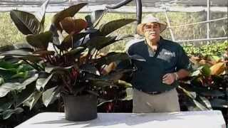 Philodendron Congo Care Instructions.avi