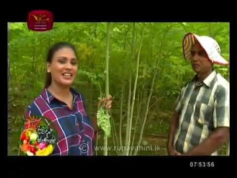 Rividina Arunella   Rupavahini   Moringa Cultivation