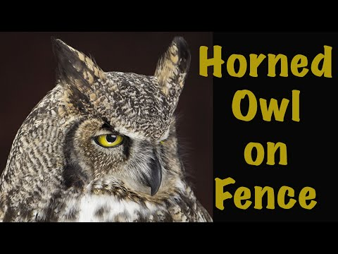 Great Horned Owl on wall Fence post. Art of Taxidermy.