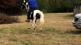 Style racking horse 4 year old walking horse for sale freeman farms