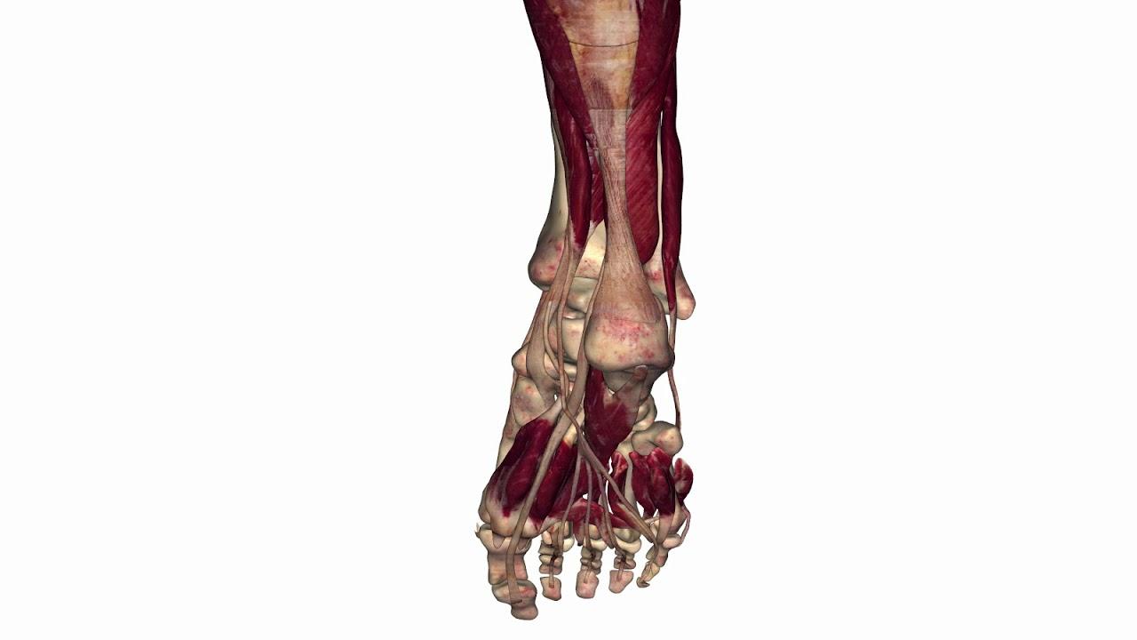 Lower Leg Anatomy - YouTube