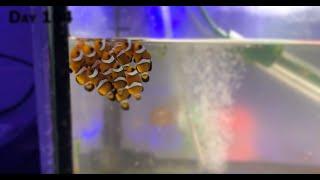 Мальки рыбы-клоуна (амфиприон) с первого дня жизни / grow clownfish (Amphiprion) babys