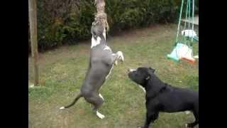 2 Amstaff Training (the Dog's Rider Kennel)