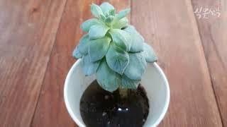 치마를 입은 다육식물 수경재배하면 잎이 다시 펴질까?